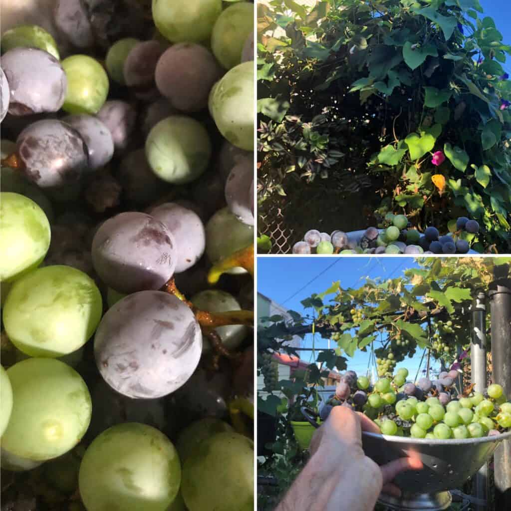 grapevine cuttings